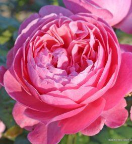 Flora_Cologna_1_600x600