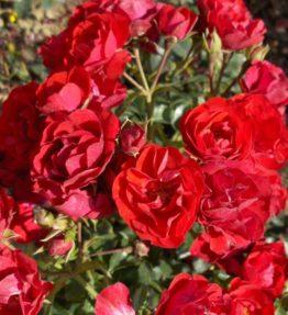 Rosa-Canzonetta