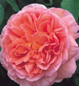 abraham-darby_anglu-rozes_roza