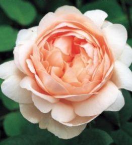 ambrighte-rose_anglu-rozes_roza