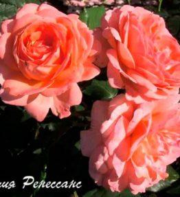 amelia-renaissance_krumrozes_roza