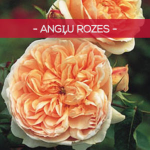 Angļu rozes