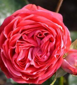 belle-de-dom_floribundrozes_roza