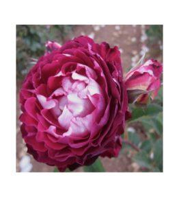 belle-de-segosa_krumrozes_violeta