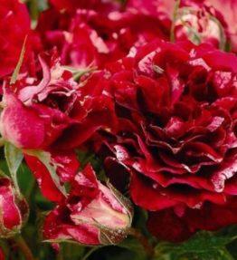 belle-d`espinouse_floribundrozes_sarkana