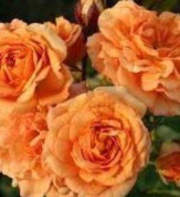 bentheimer-gold_klajeniskas-rozes_oranza
