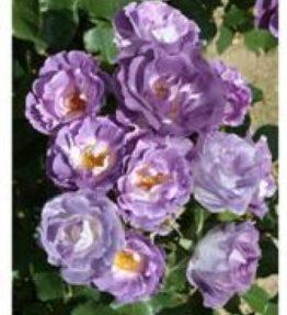 blue-for-you_floribundrozes_violeta