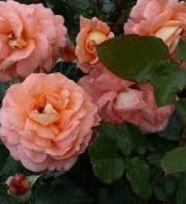 bonita-renaissance_krumrozes_aprikozu