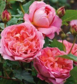 boscobel_anglu-rozes_roza