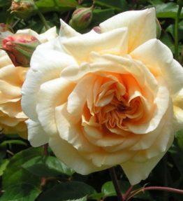 buff-beauty-2-hybrid-musk-rose-500x500