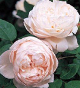 cecilia_anglu-rozes_roza