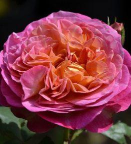 centenaire-de-l-hay-les-roses_krumrozes_roza