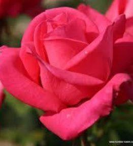 cherry-lady_tejhibridrozes_roza