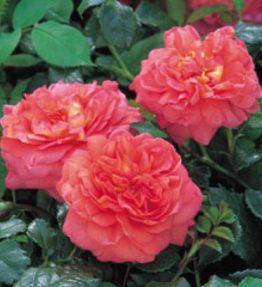 chistofer-marlow_anglu-rozes_roza