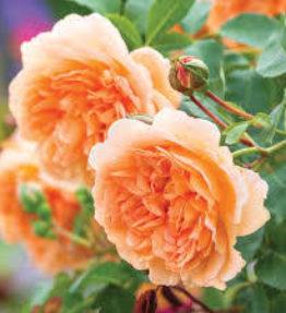 dame-judi-dench_anglu-rozes_aprikozu
