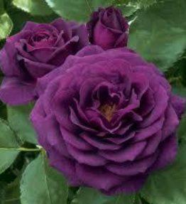 ebb-tide_floribundrozes_violeta
