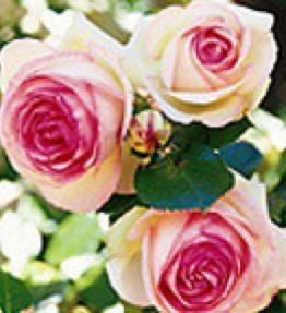 eden-rose_krumrozes_roza