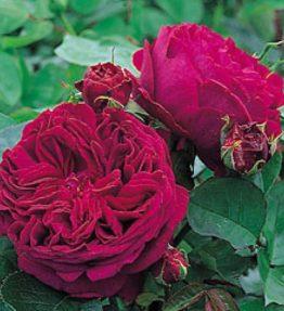 falstaff_anglu-rozes_sarkana
