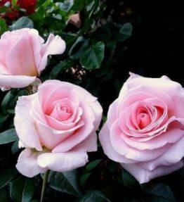 fanny-ardant_tejhibridrozes_roza