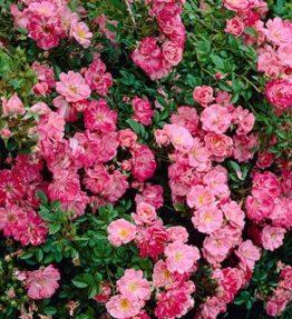 ferdy-klajeniskas-rozes_roza