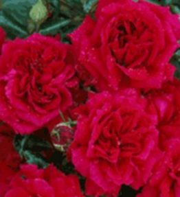 fetzer-syrah-rose_krumrozes_sarkana