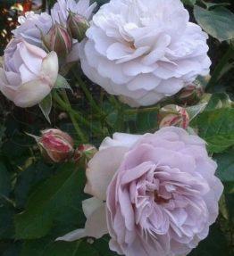 florence-delattre_krumrozes_violeta