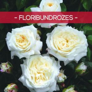 Floribundrozes