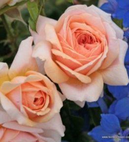 garden-of-roses_floribundrozes_roza