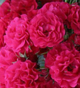 gartnerfreude_klajeniskas-rozes_sarkana