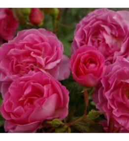 generations-jardins_floribundrozes_roza