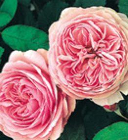 geoff-hamilton_anglu-rozes_roza
