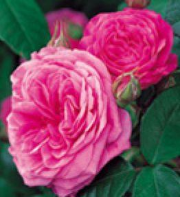 gertrude-jekyll_anglu-rozes_violeta