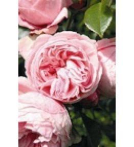 giardina_vitenrozes_roza