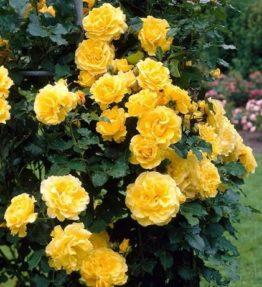 gold-shtern-dzeltena