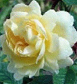 golden-shirm_klajeniskas-rozes_dzeltena