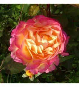 gorgeous_tejhibridrozes_roza