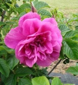 hansa_parka-rozes_violeta