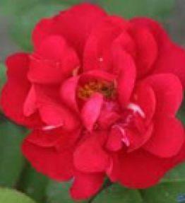 hansaland_parka-rozes_sarkana
