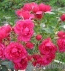 heidetraum_klajeniskas-rozes_sarkana