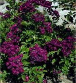 ilmenau_krumrozes_violeta