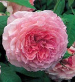 james-galway_anglu-rozes_roza