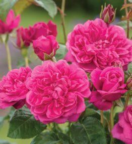 james_l`austin_anglu-rozes_sarkana