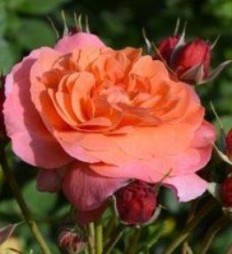 jardin-du-brule_krumrozes_oranza