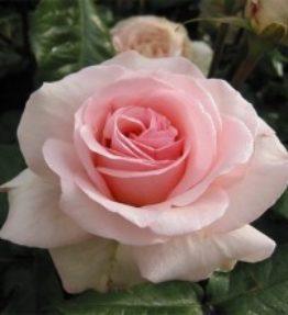 johann-strauss_floribundrozes_roza