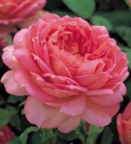 jubilee-celebration_anglu-rozes_roza