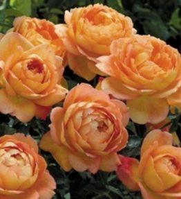 lady-of-shalot_anglu-rozes_oranza