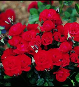 laure-charton_floribundrozes_sarkana