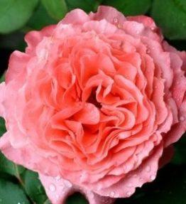 laurent-cabrol_krumrozes_roza