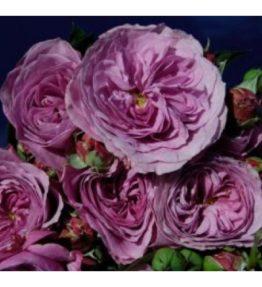lawander-ice_floribundrozes_violeta