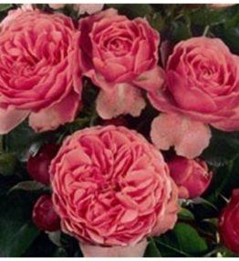leonardo-da-vinci_floribundrozes_roza